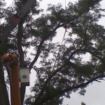 Very large Honey Locust removal struck by Lightning over house