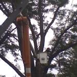Lightning strike Honey Locust crane removal