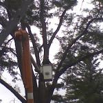 Honey Locust lightning strike crane removal